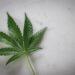 marijuana-legale